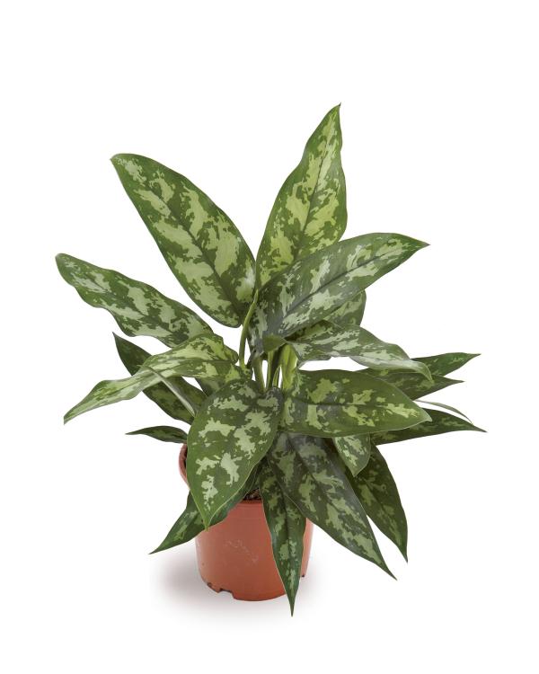 Aglaonema Maria plant