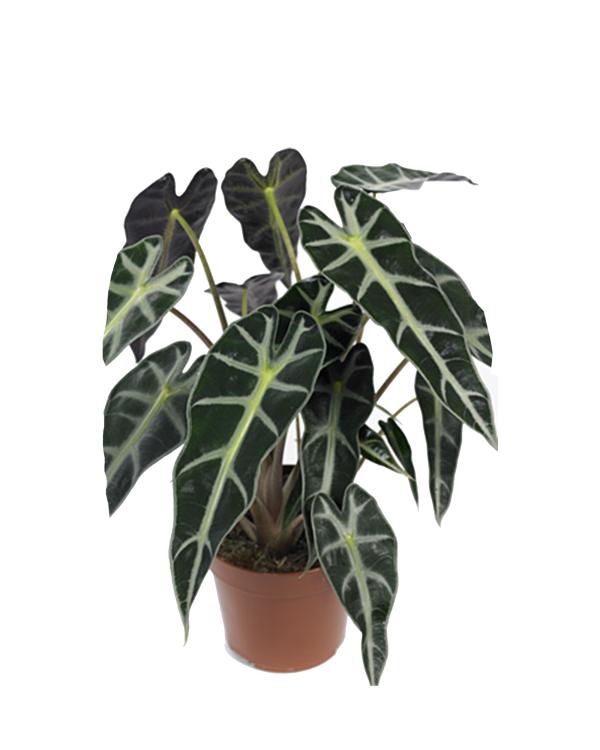 Alocasia Poly Plantvista