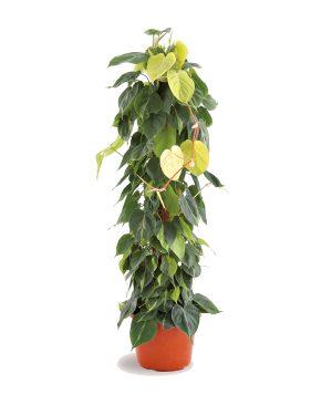 Philodendron Brazil_Plant Vista