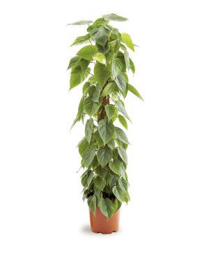 Philodendron Scandens_Plant Vista