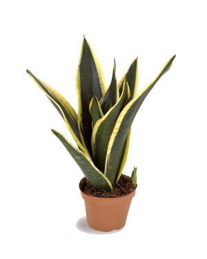 Sanseveria Plant Vista
