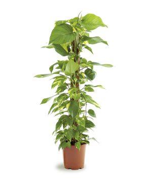 Money Plant Scidapsus Moss Stick Plant Vista