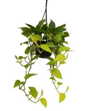 Epipremnum Scindapsus Neon Hanging Plant Vista