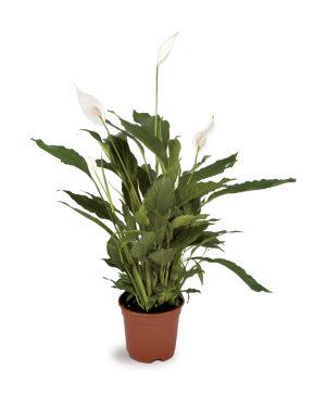 Spathiphyllum Peace Lilly Plant Vista