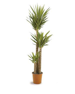 Yucca Palm Plant Vista