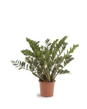 Zamioculcas Zamifolia Plant Vista